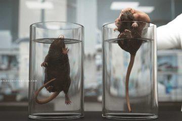 rat experiment